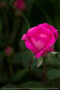 015-flower_rose-wdsm-24may17-12x18-014-9303