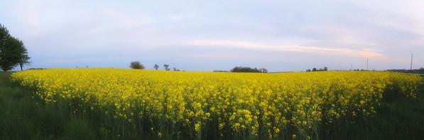 panorama mustard flowers