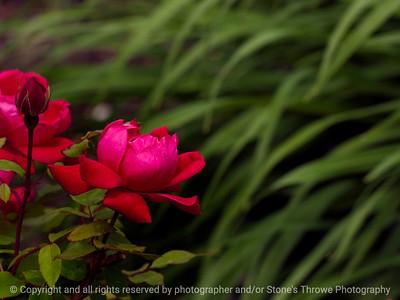 015-flower_rose-wdsm-25may16-12x09-002-2407