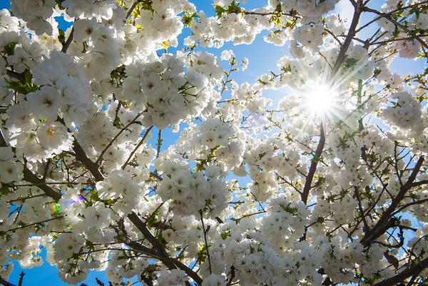 Popcorn Blossom
