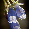 Tall Blue Bells