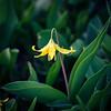Wet Glacier Lily