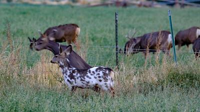 """""""Pinto"""" deer"""
