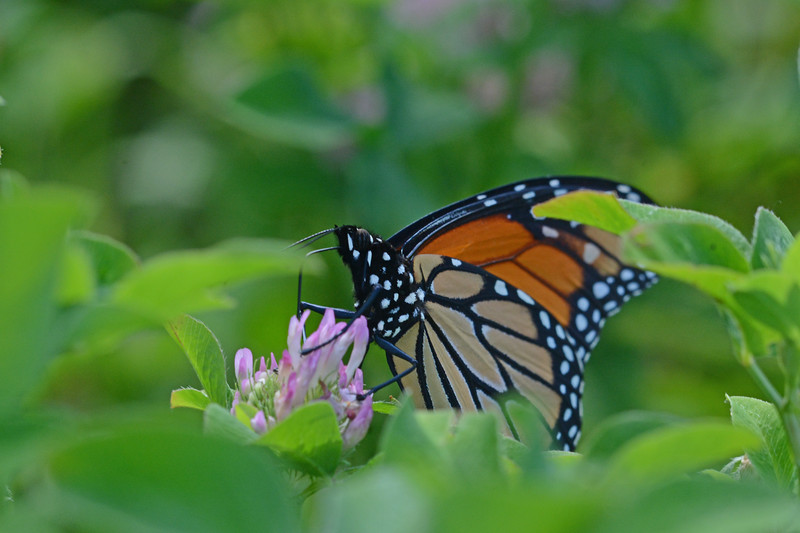 Monarch on Red Clover