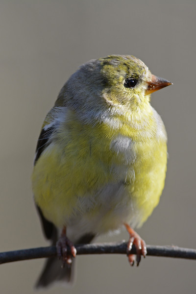 Finch in the Morning Sun