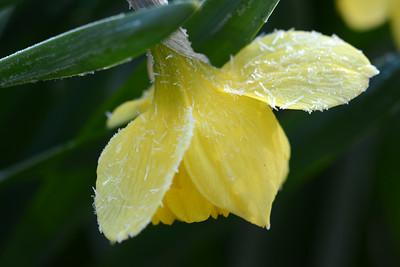 Frosty Daffodil