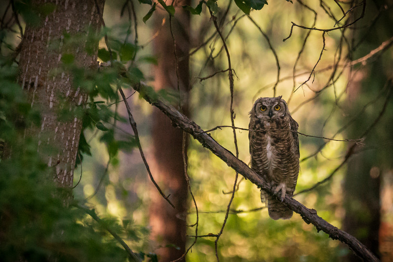 The Watchful Owl