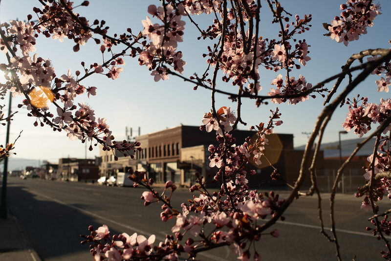 Spring Blossoms on Main St A
