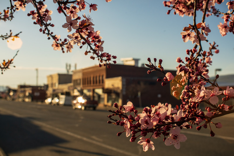 Spring Blossoms on Main St B