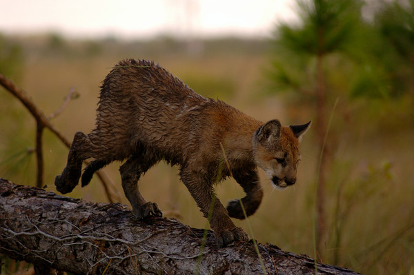 A lonely Florida panther stalks through the Florida Everglades swamp. Photo: Jill Heinerth