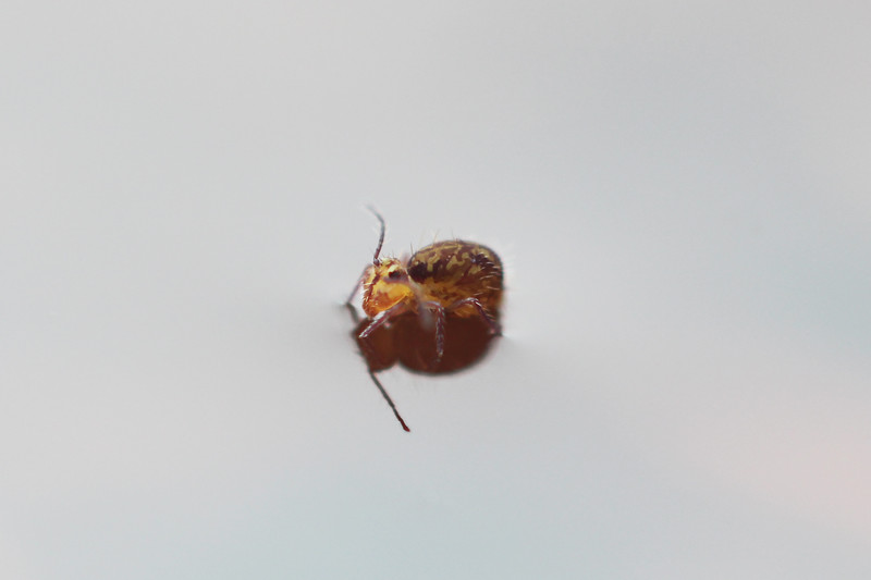 Unidentified Springtail (Collembola)