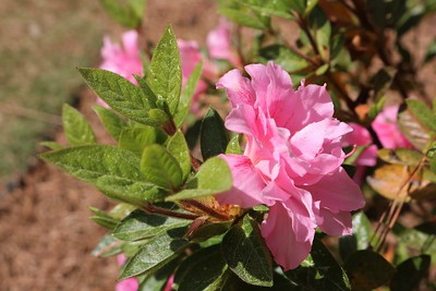 Azaleas at our home