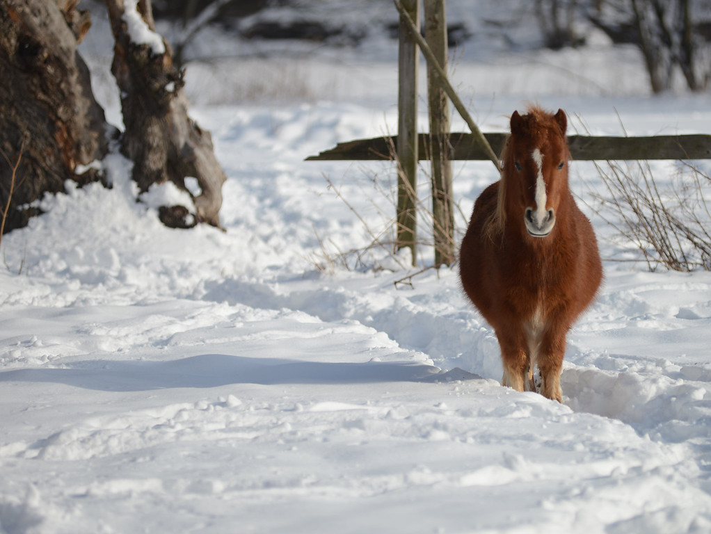 . Tania Barricklo- Daily Freeman  A shetland pony stands in the snow of its yard Friday afternoon, alert and inquisitve along Springtown Rd. in the town of Rosendale.