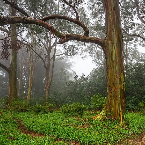 Rainbow Eucalyptus Alu-Mini