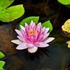 Pink Pond Lily