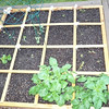 Square Foot Gardening - our seedlings are in the ground!
