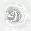 White on White Rose<br /> © Sharon Thomas