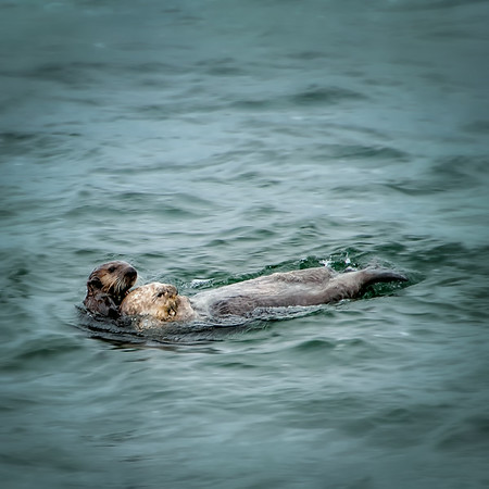 Sea Otters - Alaska<br /> © Sharon Thomas