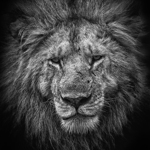 Lion B&W Portrait