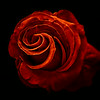 Red Rose<br /> © Sharon Thomas