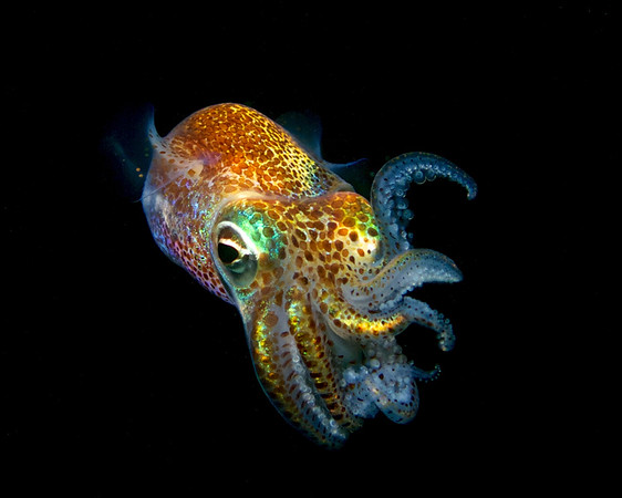Hawaiian bobtail squid 1