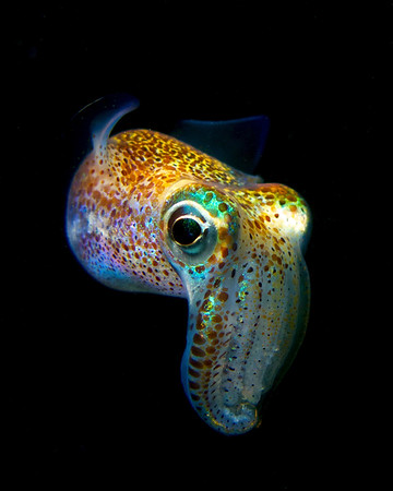 Hawaiian bobtail squid 2