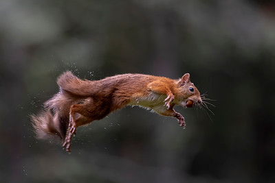 Leaping Red Squirrel