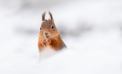 Red Squirrel, Cairngorm National Park