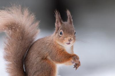 Red Squirrel (Sciurus vulgaris) in snow