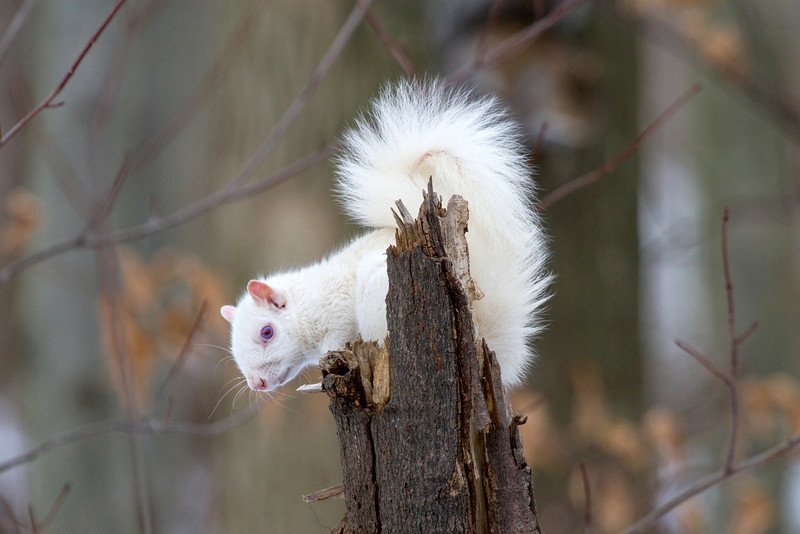 White Squirrel with blue eyes