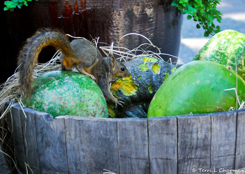 A young Fox Squirrel eating the Fall squash display at Descanso Gardens