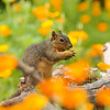 A female Fox Squirrel, surrounded by blooming Poppies, and enjoying a piece of fruit she had picked from a nearby tree.