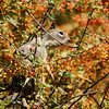 A mother Ground Squirrel using a branch in a Nevin's Barberry bush as a lookout for danger