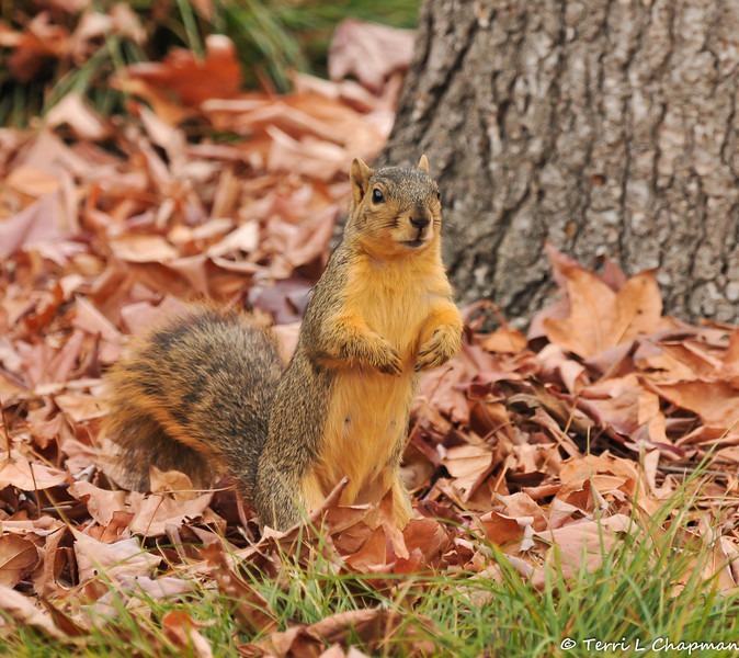 A Fox Squirrel in a pile of Sweet Gum leaves