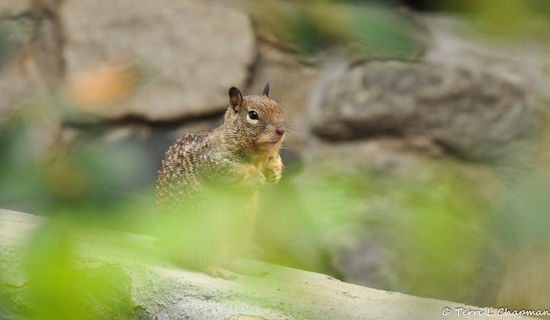 A Ground Squirrel on high alert.