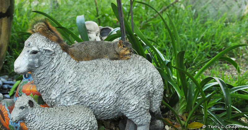 A female Fox Squirrel reclining on the back of my sheep statue!