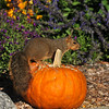 A Fox Squirrel enjoying the edible Autumn display at Descanso Gardens
