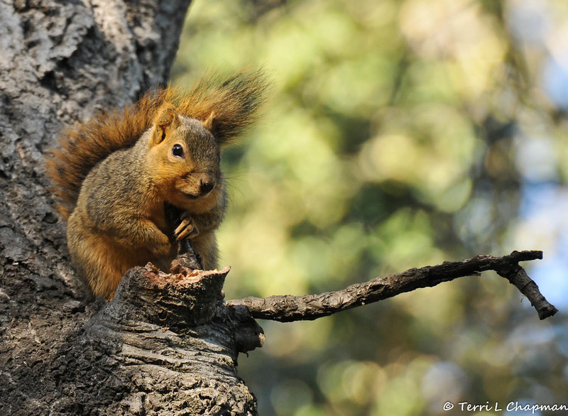 A Fox Squirrel trying to stay warm on a cold Fall morning