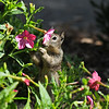 A young Ground Squirrel eating flowers