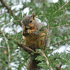A Fox Squirrel having breakfast