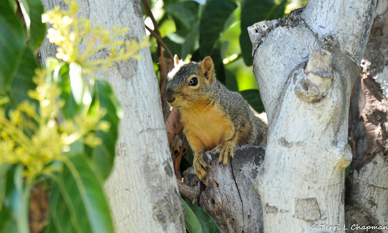A juvenile Fox Squirrel peeking out at me from an Avocado tree