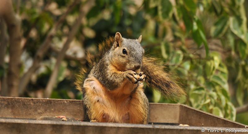 A nursing Fox Squirrel enjoying a peanut