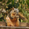 A nursing Fox Squirrel enjoying a peanut