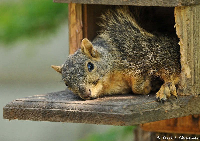 This is the third out of four images of a Fox Squirrel that was photographed on March 22, 2015 in my backyard. I was fearful she was dead, or injured, but she was just napping in the munch box and when I offered her peanuts, she happily got up and ate them!