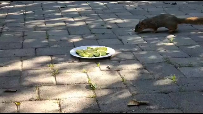 I had a bounty of ripe Avocados that were given to me by my friend and so I decided to share a plate with my backyard squirrels. They were very happy for the convenient snack!