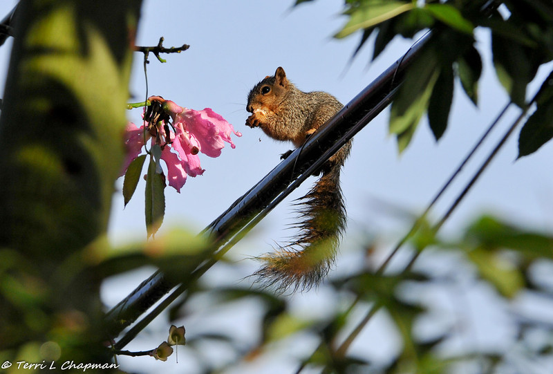 I have a very large silk floss tree in my yard and it produces lots of blooms each year. This little Fox Squirrel was wet from the rain and he was walking across the telephone lines and found a silk floss bloom to eat for breakfast.