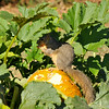 A juvenile Fox Squirrel snacking on a squash