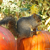 A Fox Squirrel enjoying the pumpkin Autumn display at Descanso Gardens