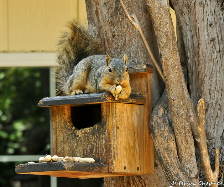 A young Fox Squirrel laying on the munch box in my backyard and enjoying a snack!