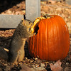 A female Fox Squirrel preparing to go inside the pumpkin to retrieve a seed. The pumpkin was part of Descano Gardens  Autumn display.